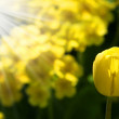 Yellow tulips in the sun — Stock Photo