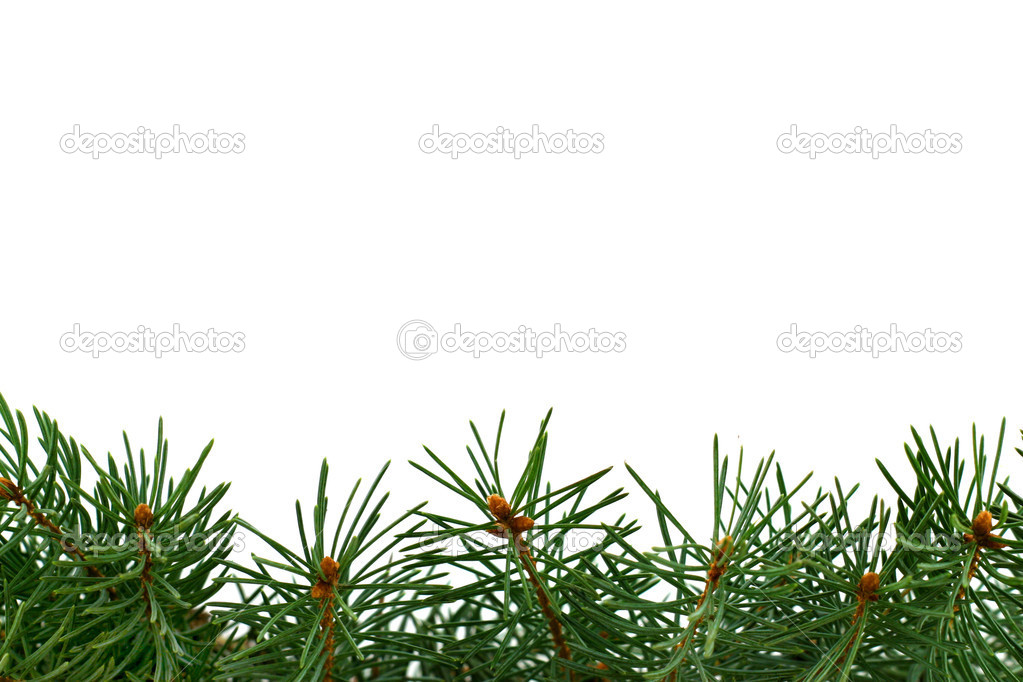 Fresh green fir branches isolated on white background — Stock Photo #1251049