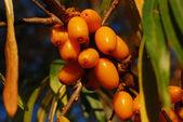 Sea-buckthorn Berries Close-up — Стоковое фото