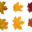 Royalty-Free Stock Photo: 6 maple leaves-2
