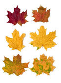 6 maple leaves — Stock Photo