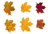 6 maple leaves-2 — Stock Photo