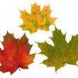 Stock Photo: Red, yellow and green maple leaves