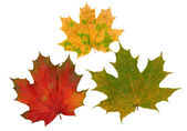 Red, yellow and green maple leaves — Stock Photo
