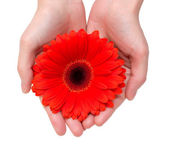 Gerbera in hands — Stock Photo