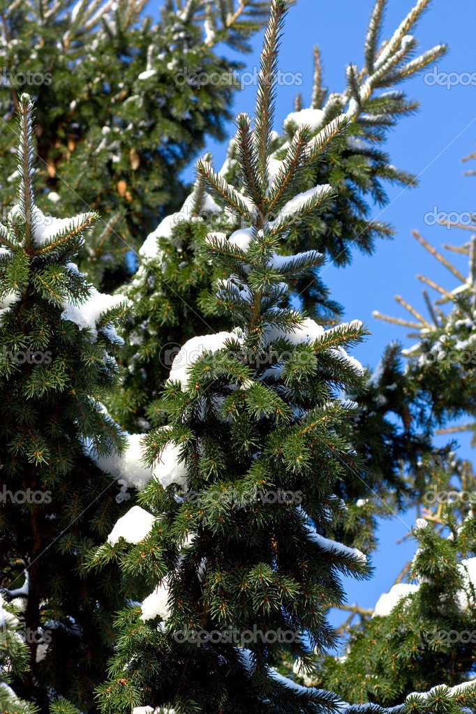 Closeup of fir tree. — Foto de Stock   #1432573
