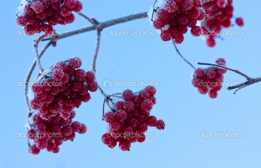 Frozen berries of the snowball tree. Shallow DOF. — Stock Photo #1432758