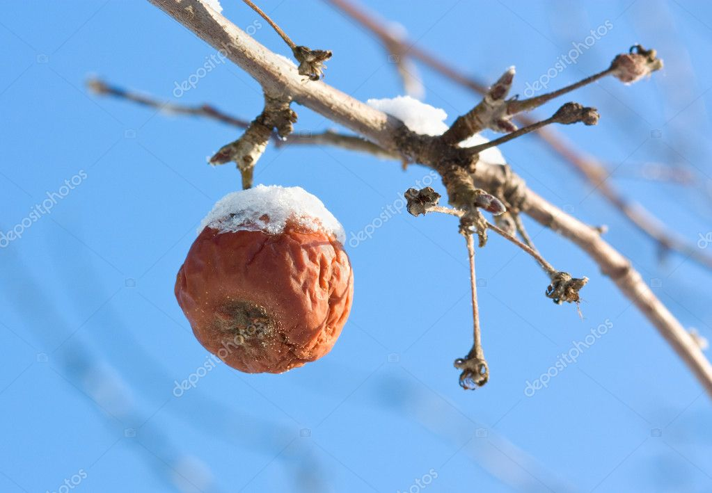 Frozen faded apple on the tree. — Stock Photo #1432803