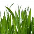 Grass with large dew drops - Stock Photo