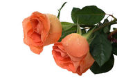 Peach roses — Stock Photo
