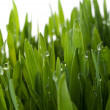 Royalty-Free Stock Photo: Grass with large dew drops