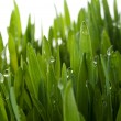 Grass with large dew drops — Stock Photo