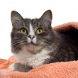 Cat in towel — Stock Photo