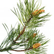 Branch of christmas tree — Stockfoto #1299554