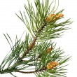 Branch of christmas tree — Foto Stock #1299554