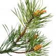 Noel ağacının dalını — Stok fotoğraf