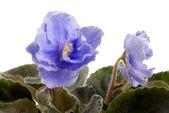 Saintpaulia azul sobre fondo blanco — Foto de Stock