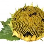 Ripe sunflower on white background — Stock Photo #1300027