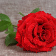Red rose with dew drops — Stock Photo #1308713