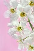 Blommor av fågel cherry tree — Stockfoto