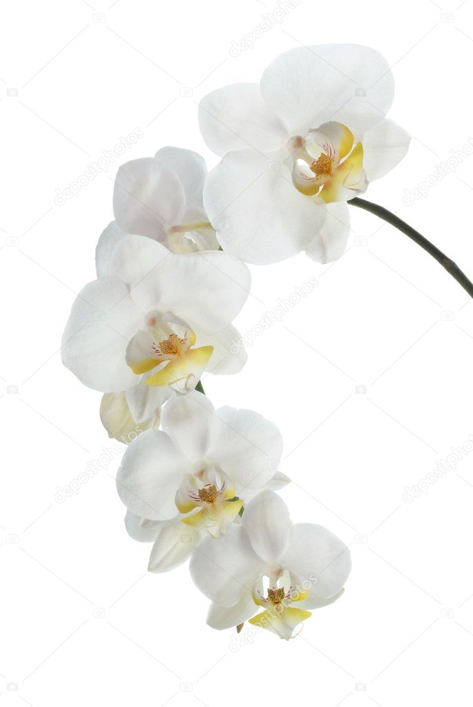 White orchid on white background — Stock Photo #1309183