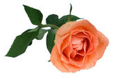 Peach rose — Stock Photo