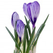 Stock Photo: Spring flowers crocus on white backgroun