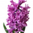 Pink hyacinth on white background — Stock Photo