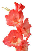 Red gladiolus on white background — Stock Photo