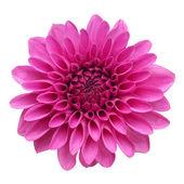 Цветок георгин на белом фоне — Стоковое фото