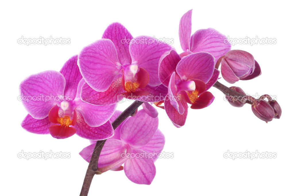 The Gallery For Pink Orchid Clipart