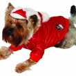 Dog in cristmass suit — Stock Photo #1242607