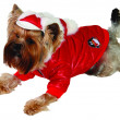 Dog in cristmass suit — Stock Photo