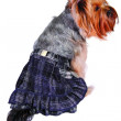 Dog in skirt — Stock Photo