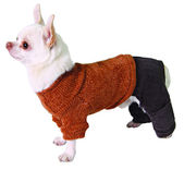 Dog in pants and sweater — Stock Photo