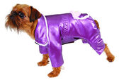 Dog in purple suit — Stock Photo