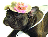 Dog in hat with flower — Stock Photo