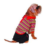 Dog in shirt and shorts — Stock Photo
