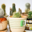 Stock Photo: Blurry cacti