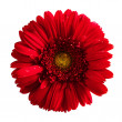 Royalty-Free Stock Photo: Red gerbera