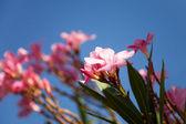 Pink oleander — Stock Photo