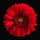 Red gerbera — Stockfoto