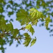 Maple tree branch in spring — Stock Photo