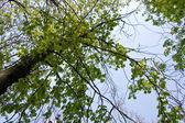 Maple tree branch in spring — Stock Photo