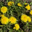 Yellow dandelions — Stockfoto