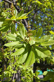 Chestnut young leaves — Stock Photo