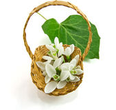 Snowdrop in basket on white background — Stok fotoğraf