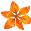 Orange lily isolated on white background — Stock Photo