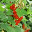 Isolated red currant - Stockfoto