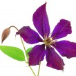 Beautiful violet flower isolated on whit - Foto de Stock